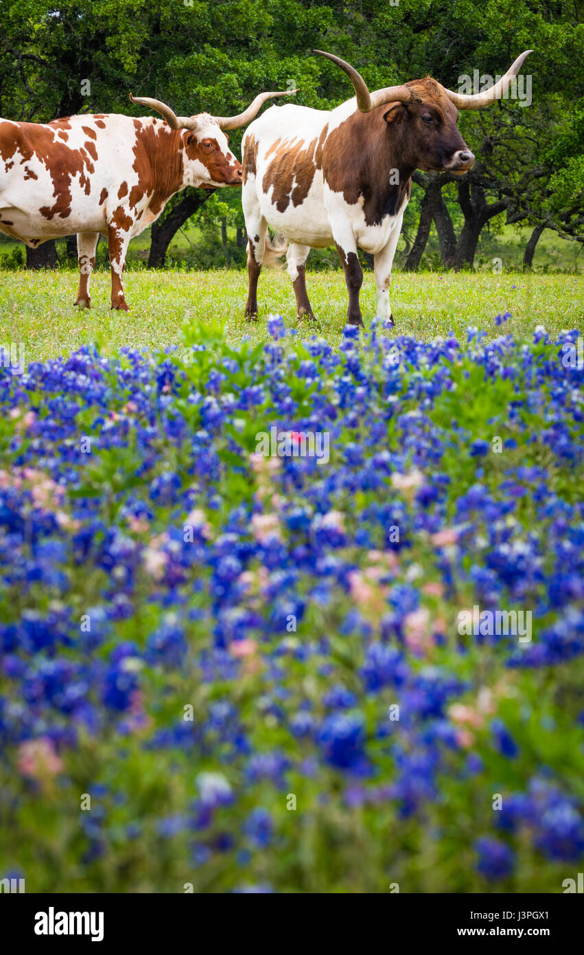 Longhorn cattle among bluebonnets in the Texas Hill Country - Stock Image