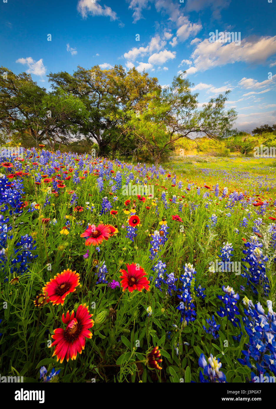 Bluebonnets and Indian Blanket along country road in the Texas Hill Country around Llano. Lupinus texensis, the - Stock Image