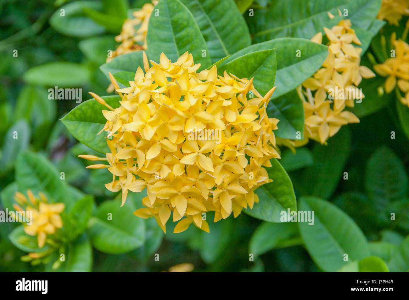 Closeup west indian jasmine flowers stock photos closeup west panicle of yellow ixoras west indian jasmine flower on its plant stock image izmirmasajfo