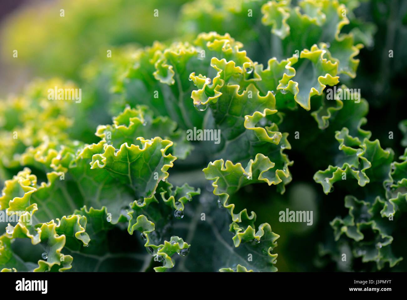 Gruenkohl, Krauskohl, Federkohl, Winterkohl, Sorte Ostfriesische Palme, bis zu 1.8 m hoch, Brassica oleracea acephala - Stock Image