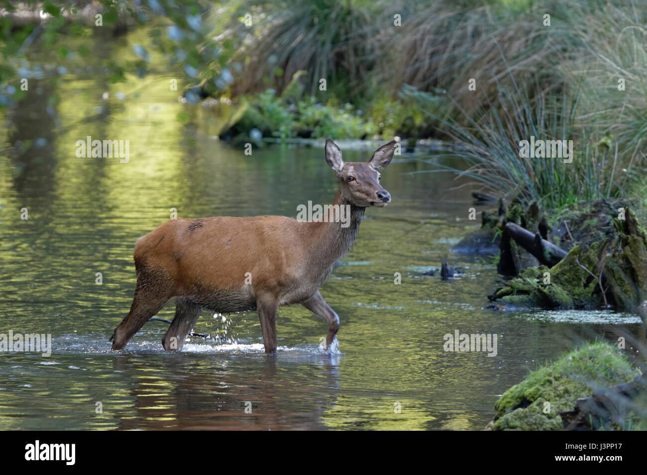 Red deer (Cervus elaphus) walking through water, Schleswig- Holstein, Germany, Europe Stock Photo