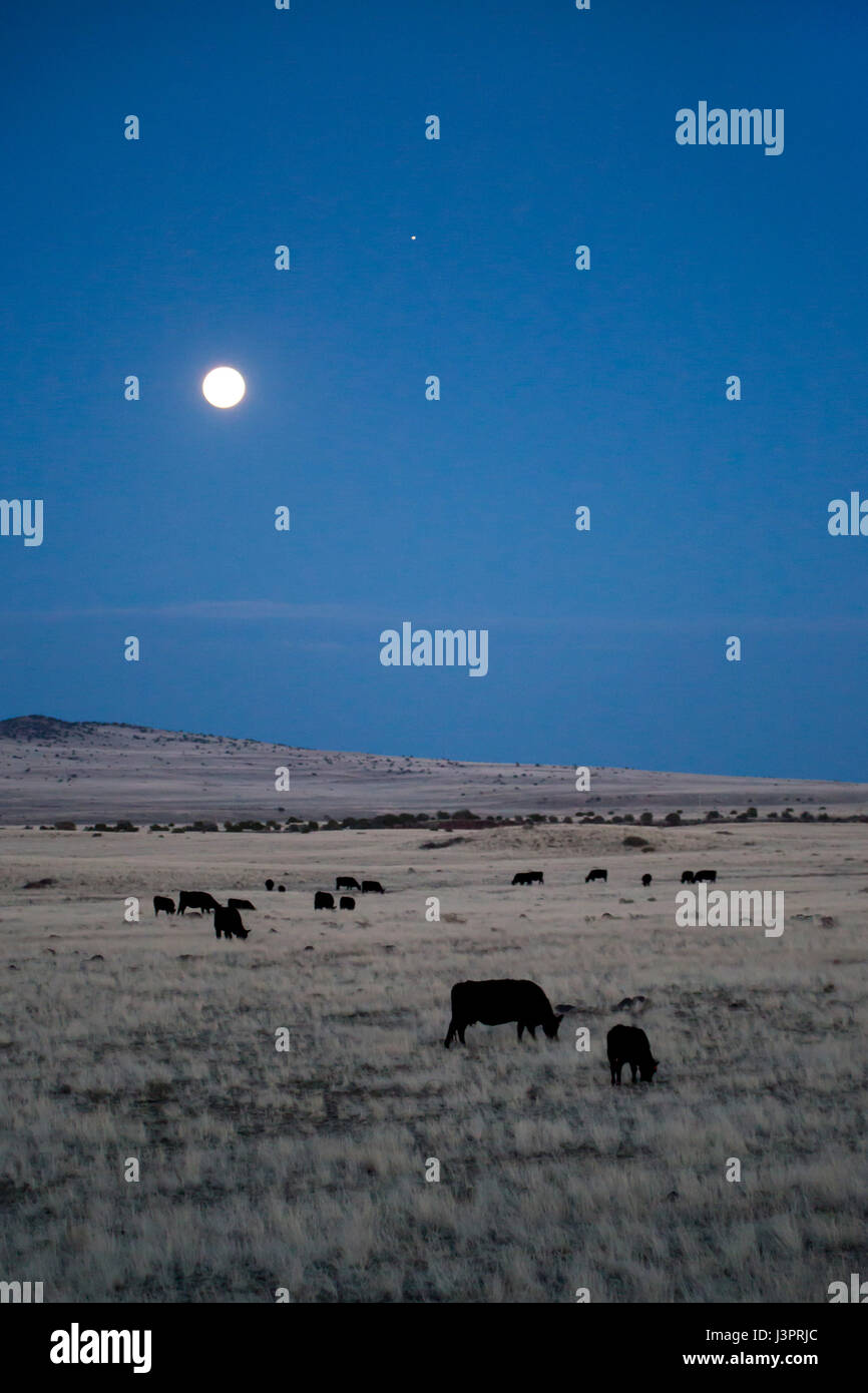 Springerville, Arizona - Cattle graze under a full moon on a ranch in eastern Arizona. - Stock Image