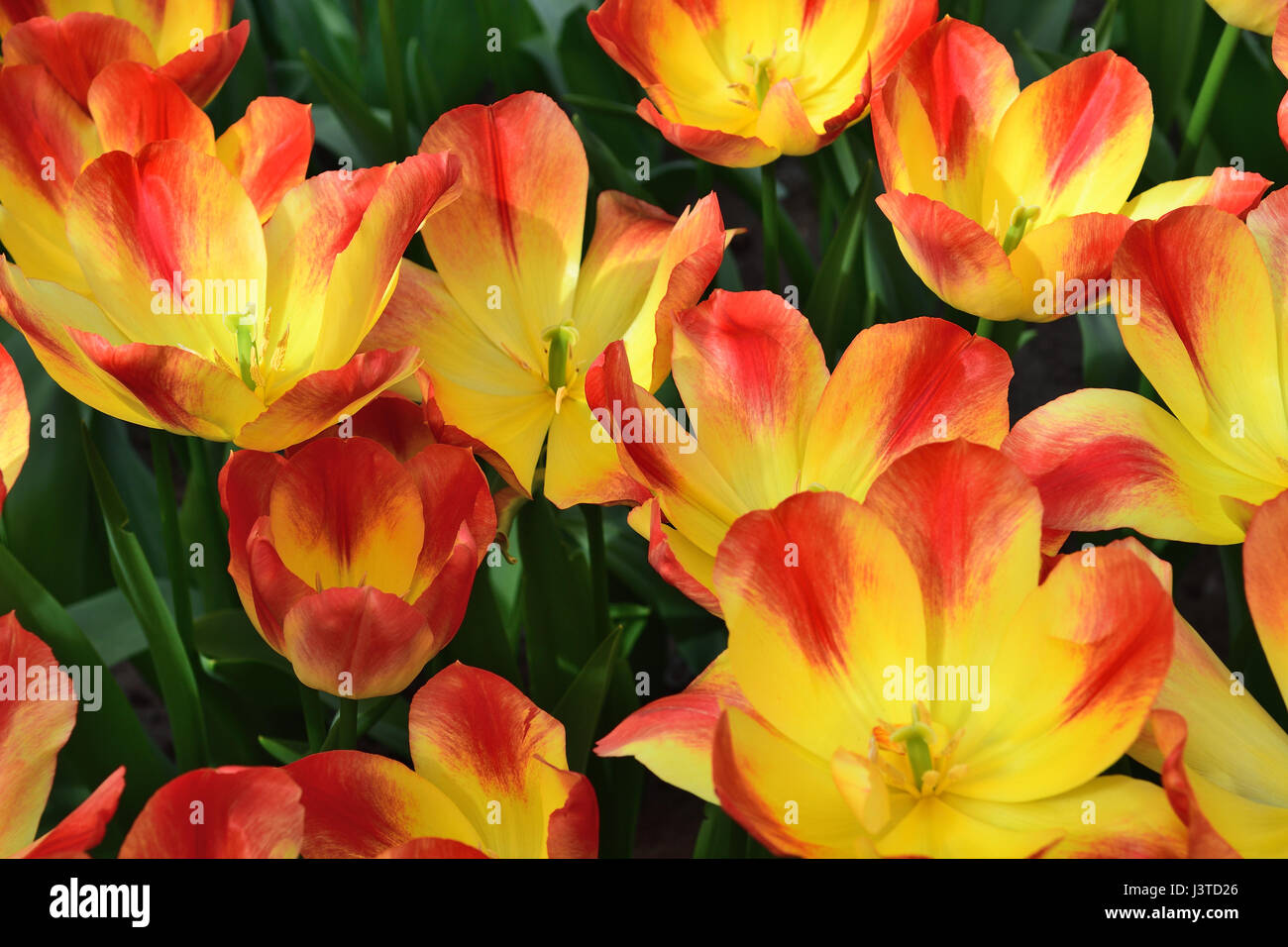 Open orange and yellow tulips that look like a fire stock photo open orange and yellow tulips that look like a fire izmirmasajfo