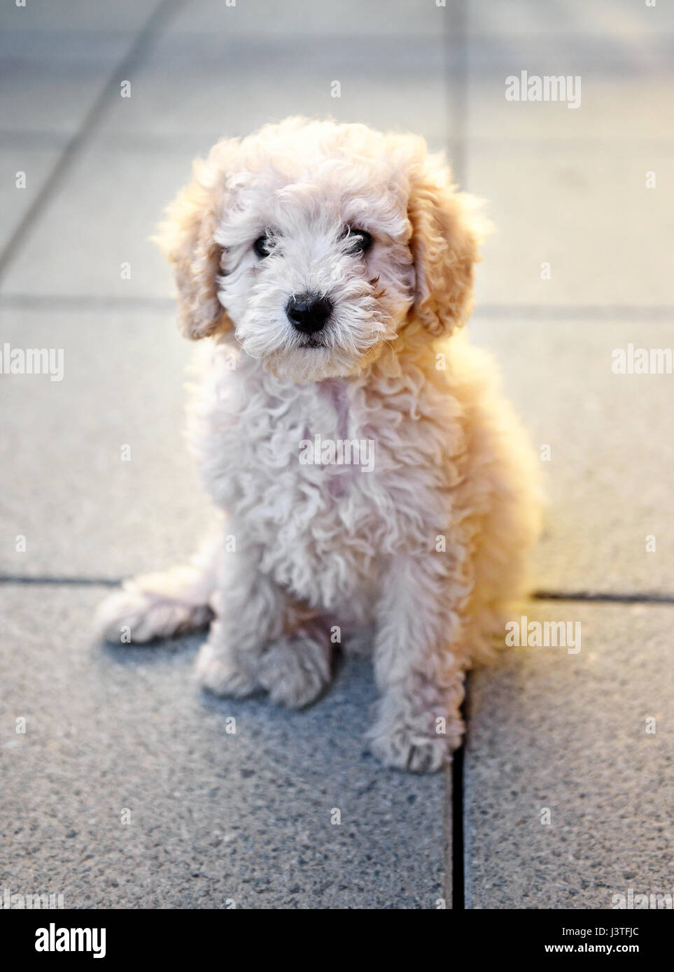 Small little fluffy golden toy poodle puppy sitting on grey tiles looking calmly at the camera in a close up view - Stock Image