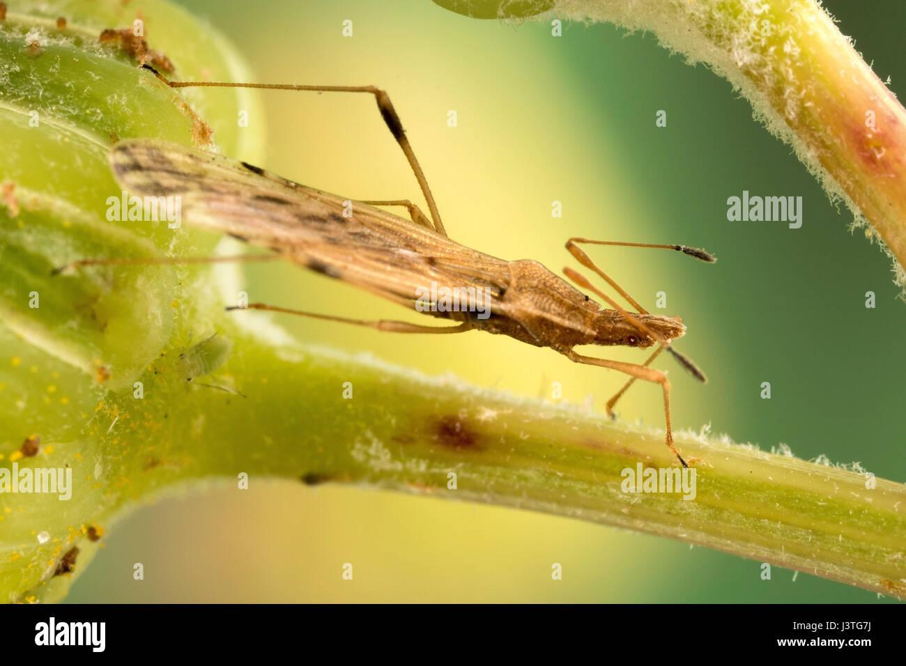 Tiny elongated bodied beetle - Stock Image