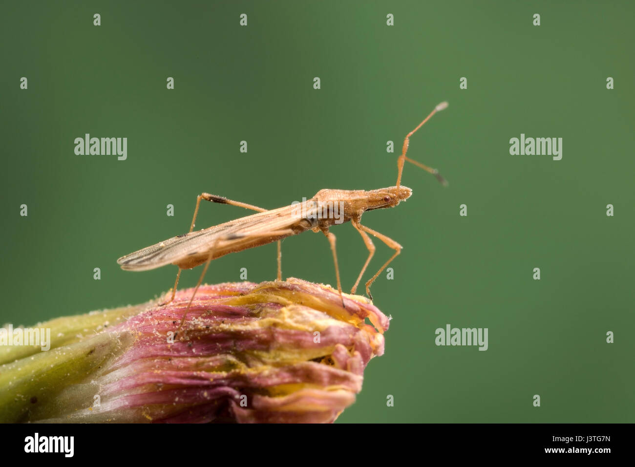 Tiny elongated bodied beetle - Stock Image
