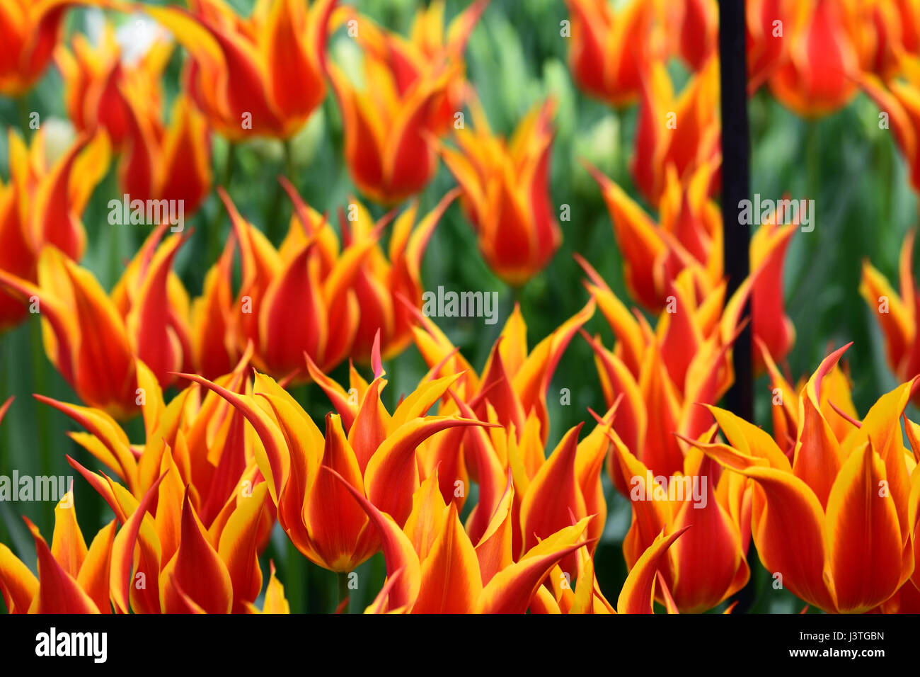 Orange and yellow tulips that look like a fire stock photo orange and yellow tulips that look like a fire izmirmasajfo