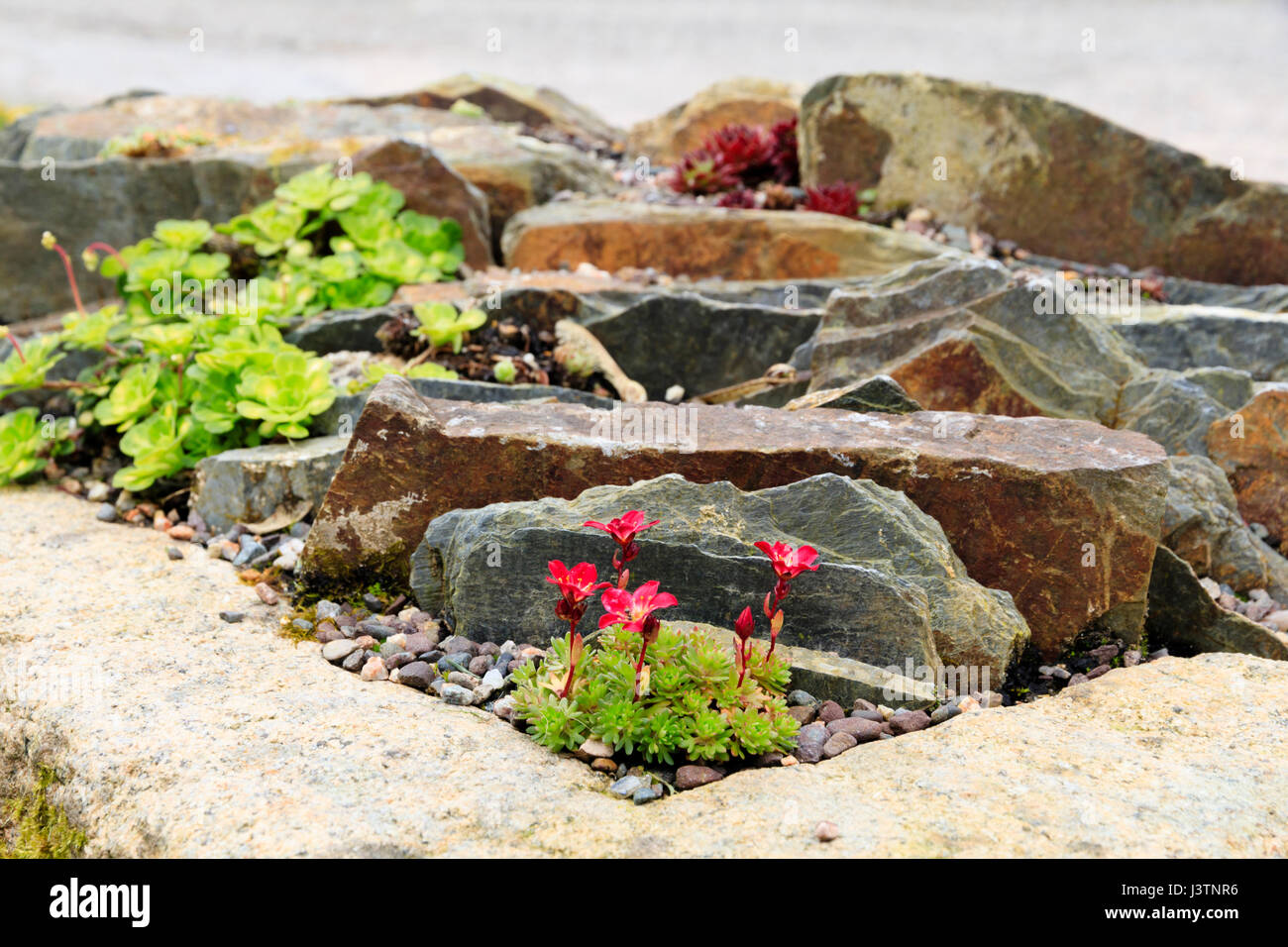 Close up, low angle view over an alpine trough with a red flowered saxifrage in the foreground - Stock Image
