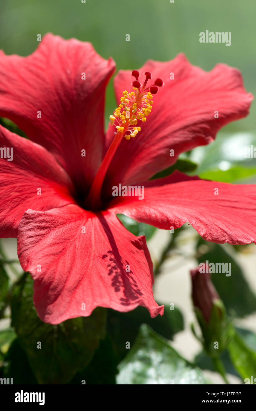 Red flower of Hibiscus rosa-sinensis or rose mallow with open petals and pronounced pistil supporrting styles, stigma - Stock Image