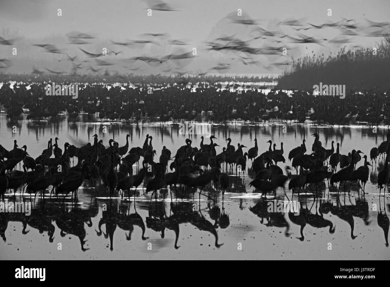 Common Cranes Grus grus, at dawn gradually leaving overnight roost on lake. They are wintering at  the Hula Lake Stock Photo