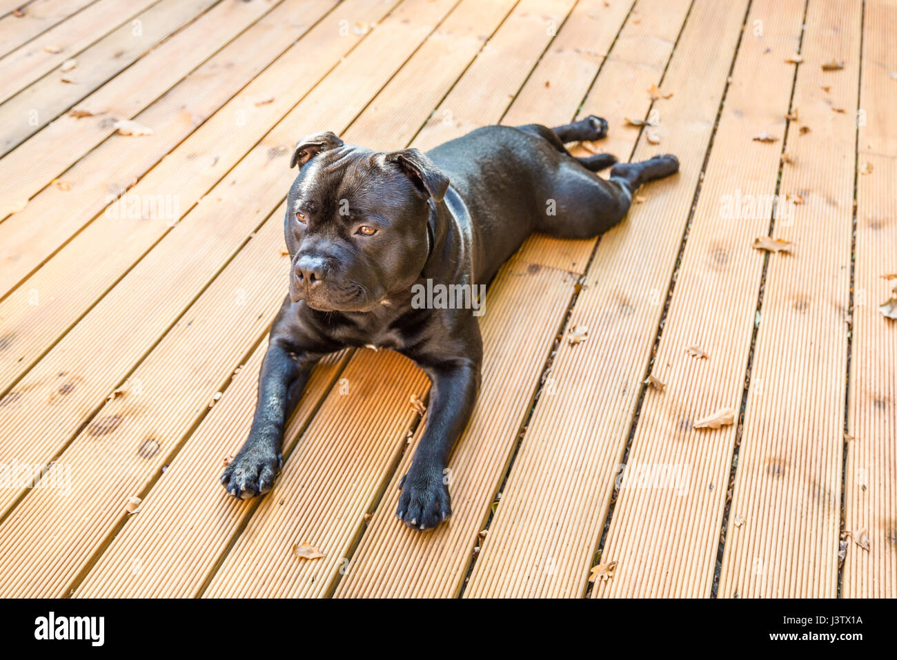 A handsome black Staffordshire Bull Terrier dog lying on wooden decking. his coat is shiny, he is not wearing a - Stock Image