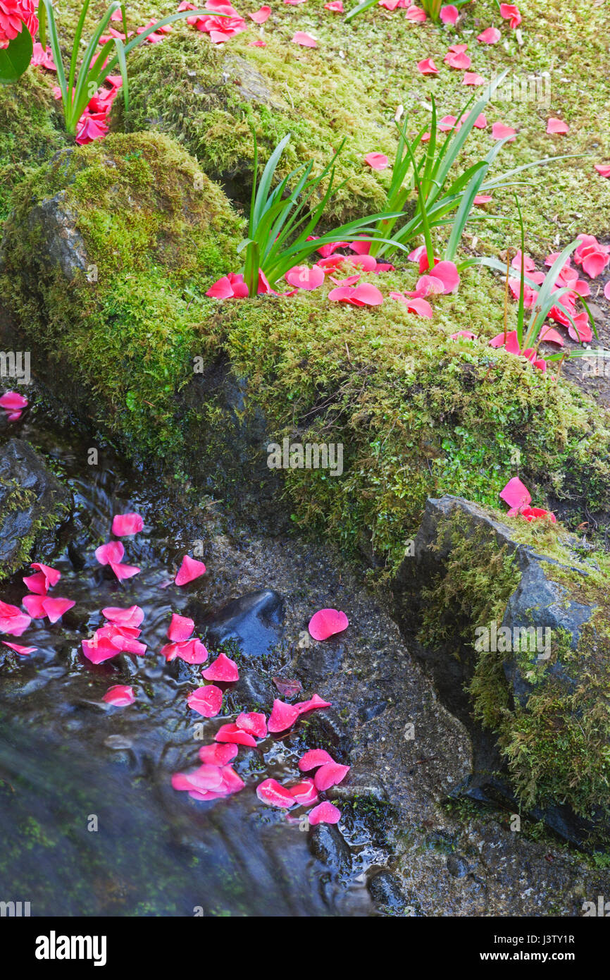 Fallen flower petals at the edge of a stream with mossy banks at the Butchart Gardens - Stock Image