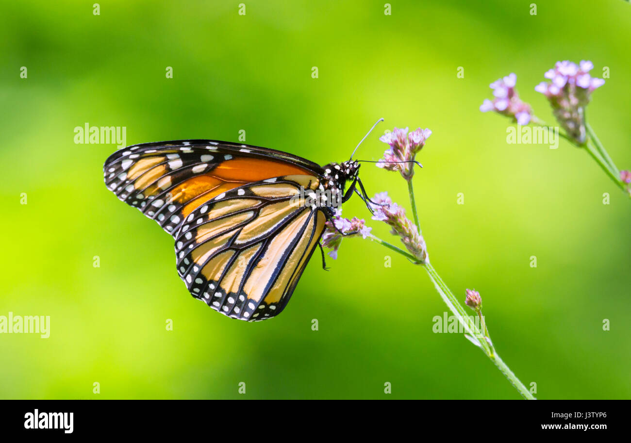 Monarch butterfly (Danaus plexippus) perched on pink flowers - Stock Image