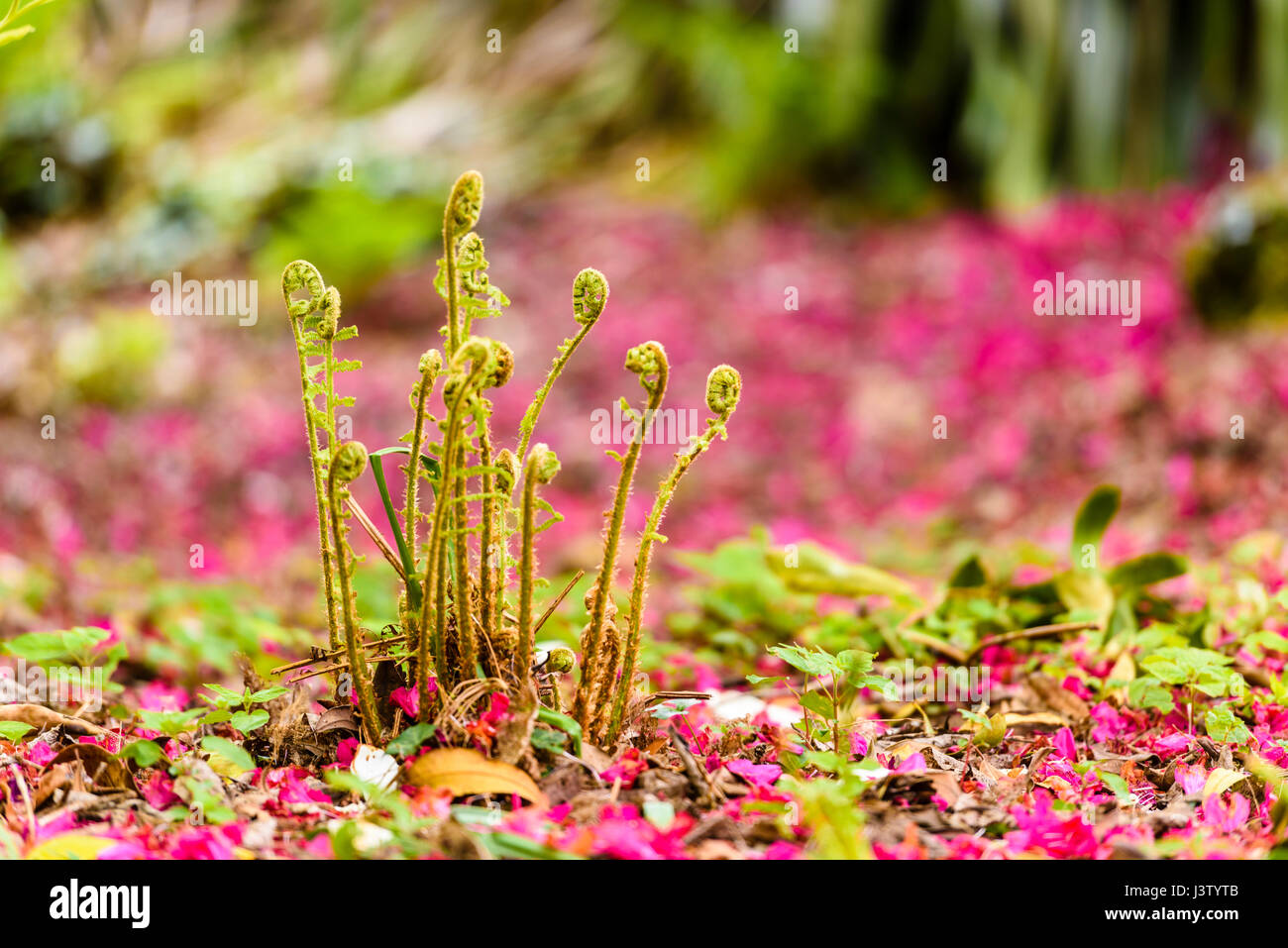 Pink rhododendron petals lie on the ground around ferns growing in a forest. - Stock Image