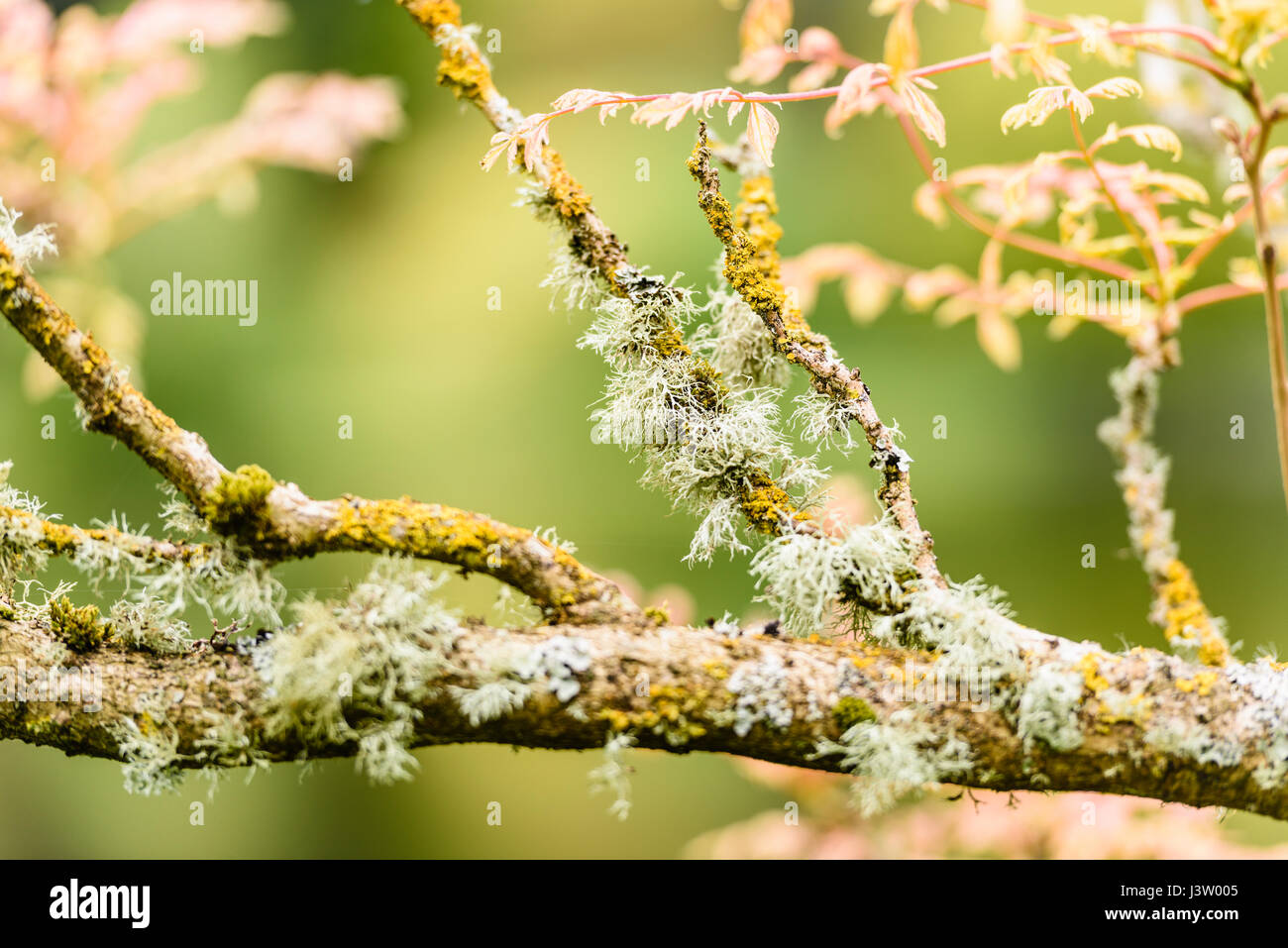 Cartilage lichen growing on the branches of a tree. - Stock Image
