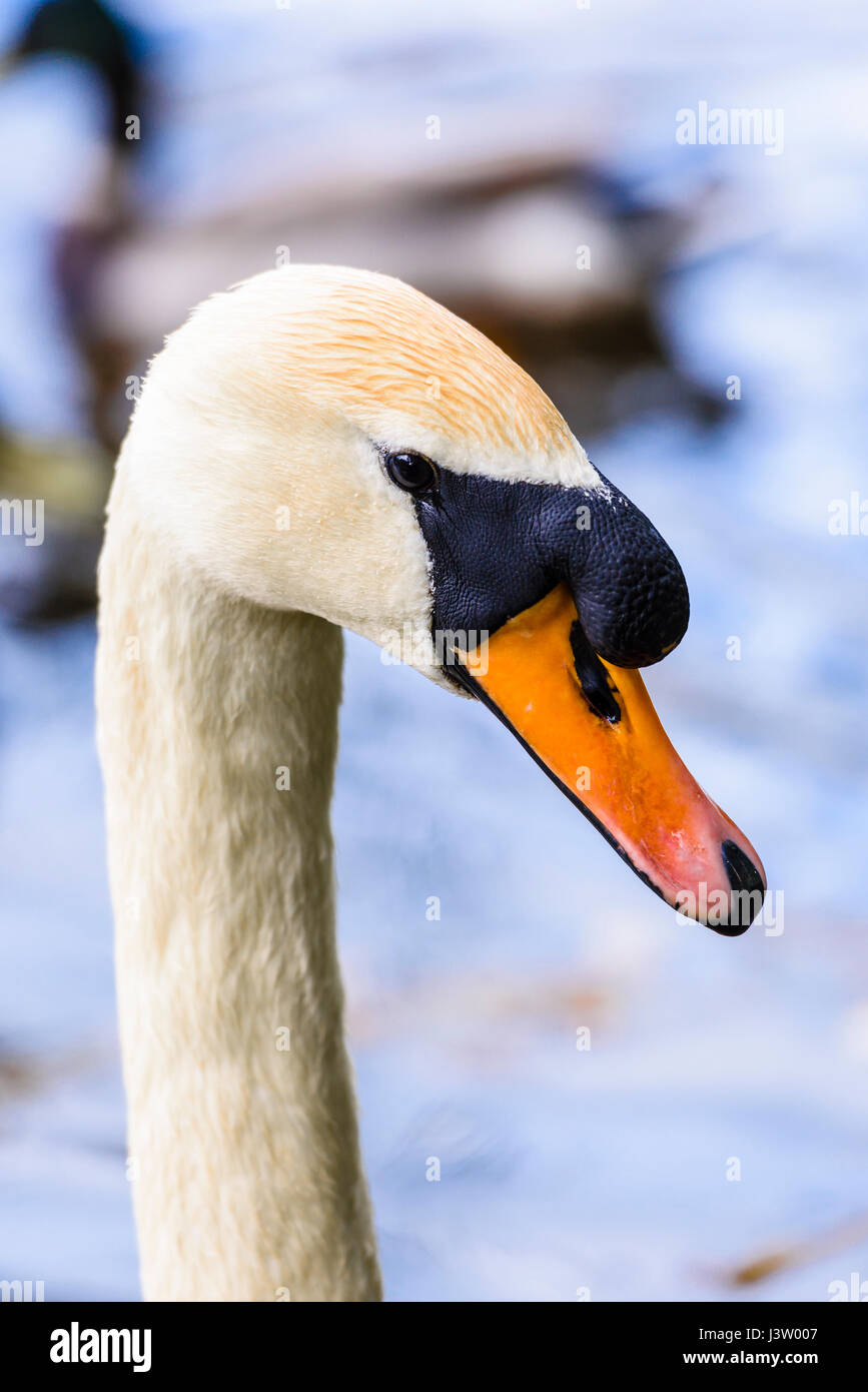 Head and neck of a male mute swan, showing the larger knob on the upper bill than is present on a female. - Stock Image