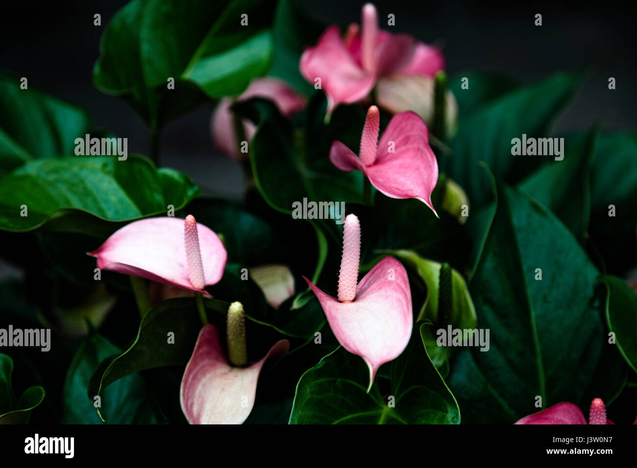 Pink Flamingo Flower or peace lily Stock Photo 140076307