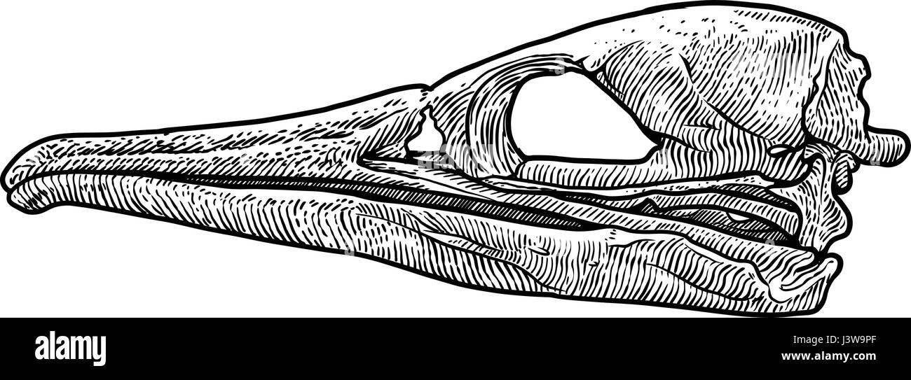 Bird skull illustration, drawing, engraving, ink, line art, vector - Stock Image