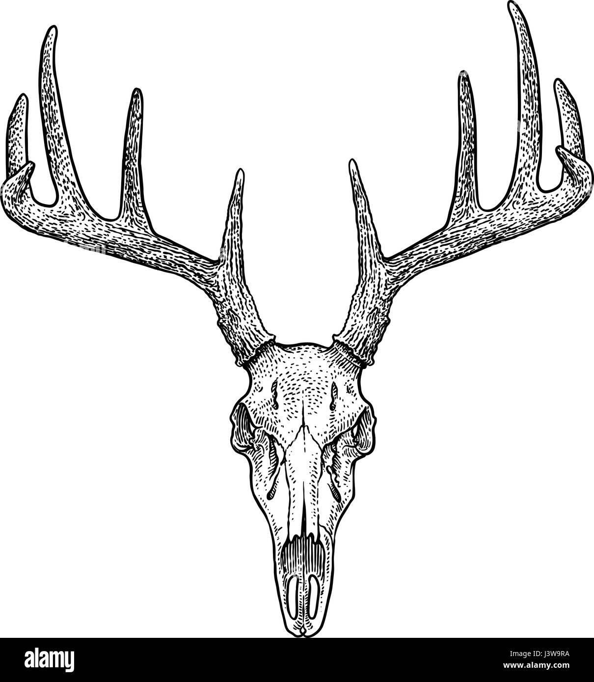 Deer skull illustration, drawing, engraving, ink, line art, vector - Stock Image