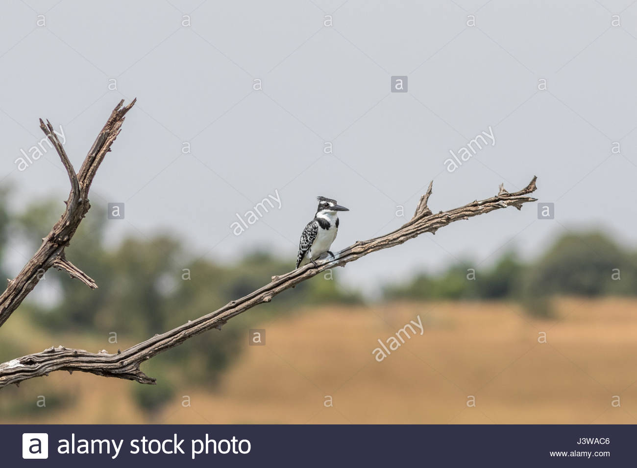 A Pied Kingfisher perched on the branch of a dead thorn tree in the Pilanesberg National Park, South Africa. - Stock Image