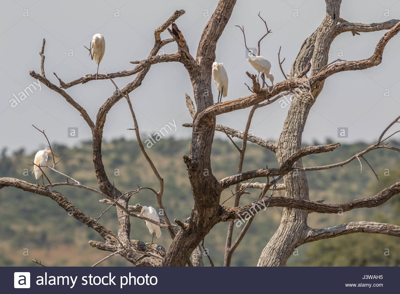 A flock of Western Cattle Egrets perched in the branches of a dead tree. - Stock Image