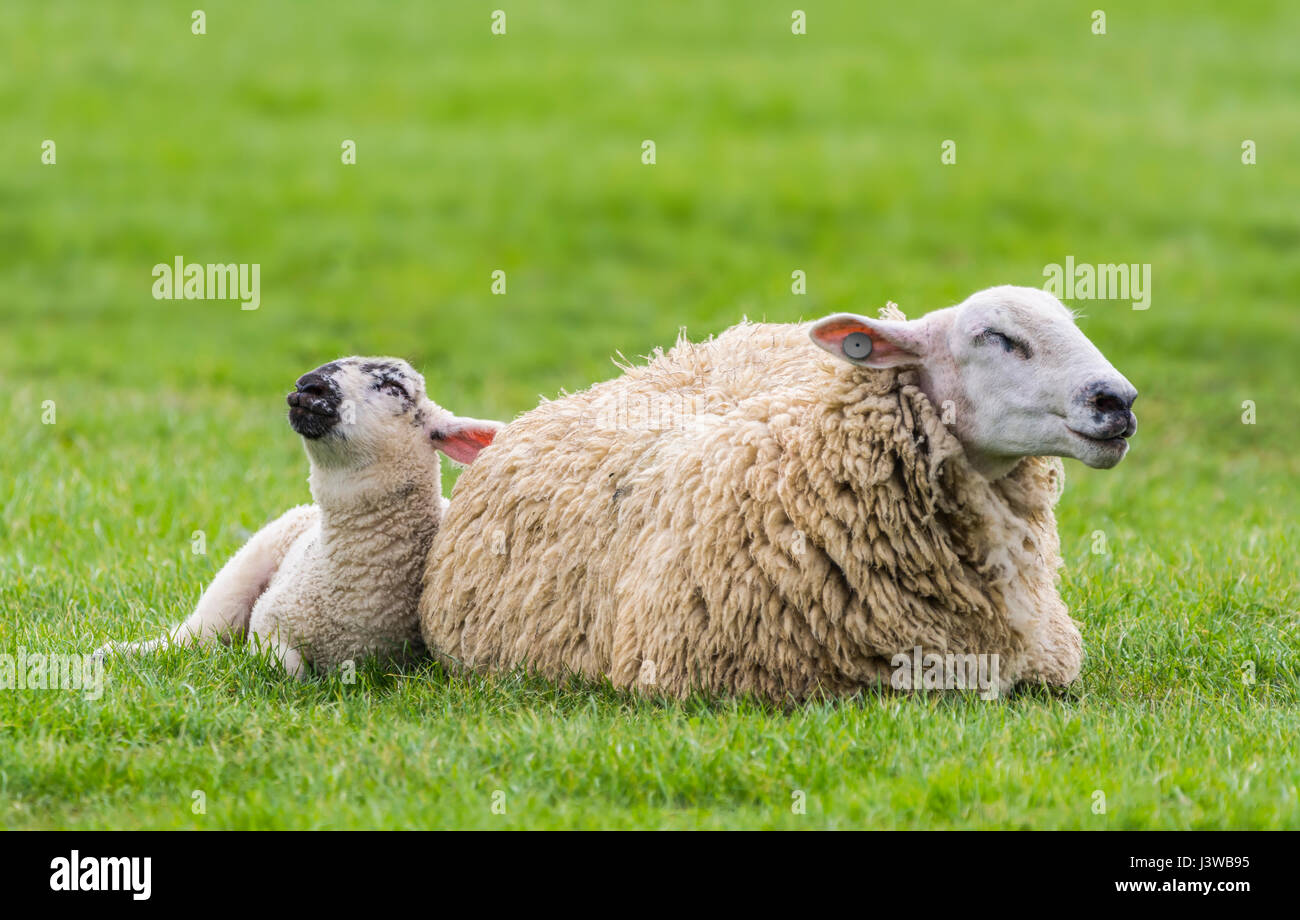 A sheep and lamb in a field dozing looking like they're praying. - Stock Image