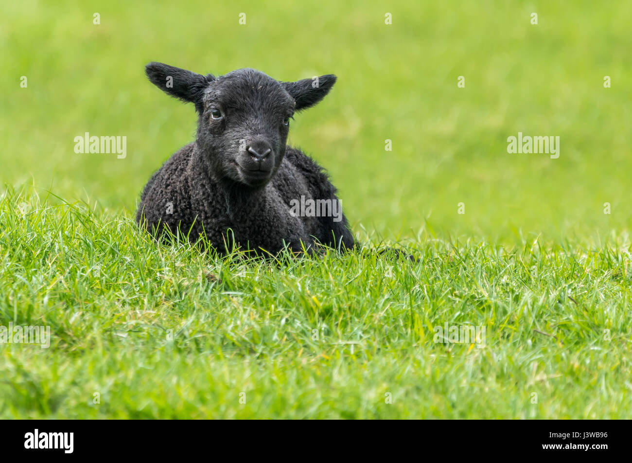 Black lamb resting on grass in a field in Spring in West Sussex, England, UK. Relaxing, resting, relaxed, content, - Stock Image