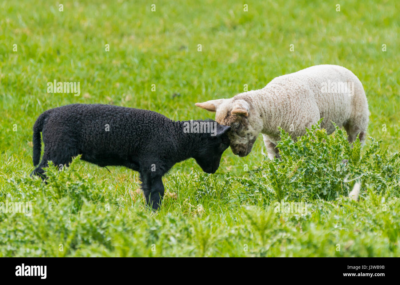 Close friends. Black and white lambs head to head while playing together in a field. Stock Photo