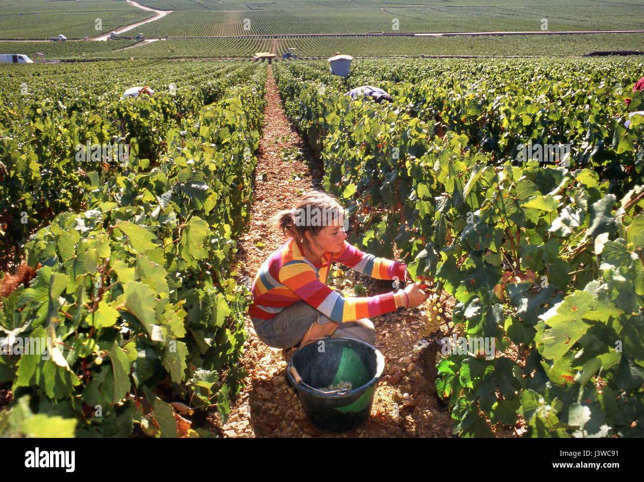 Sophie harvesting Chardonnay grapes in Chevaliers-Montrachet vineyard of Michel Colin-Deleger, Puligny-Montrachet, - Stock Image