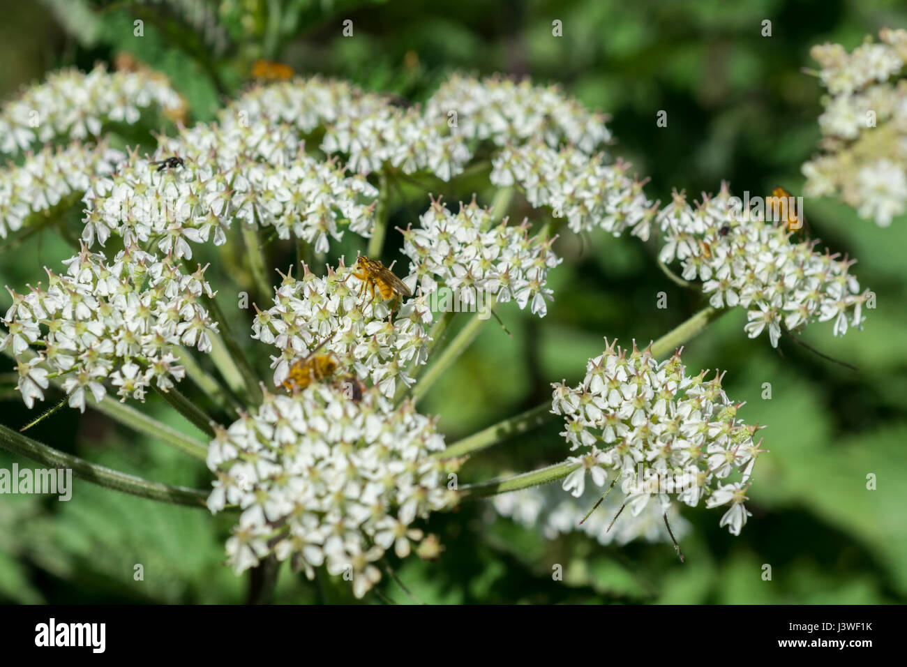 Hogweed flower cluster with Yellow Dung Fly (Scathophaga sterconia) feeding on nectar, plus a wasp-type insect which - Stock Image