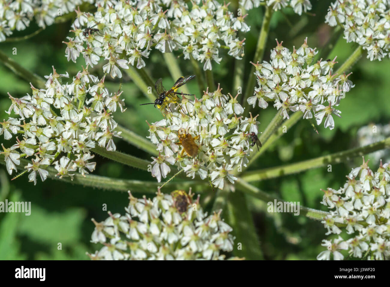 Hogweed flower cluster with Yellow Dung Fly (Scathophaga sterconia) feeding on nectar + a wasp-like fly. - Stock Image