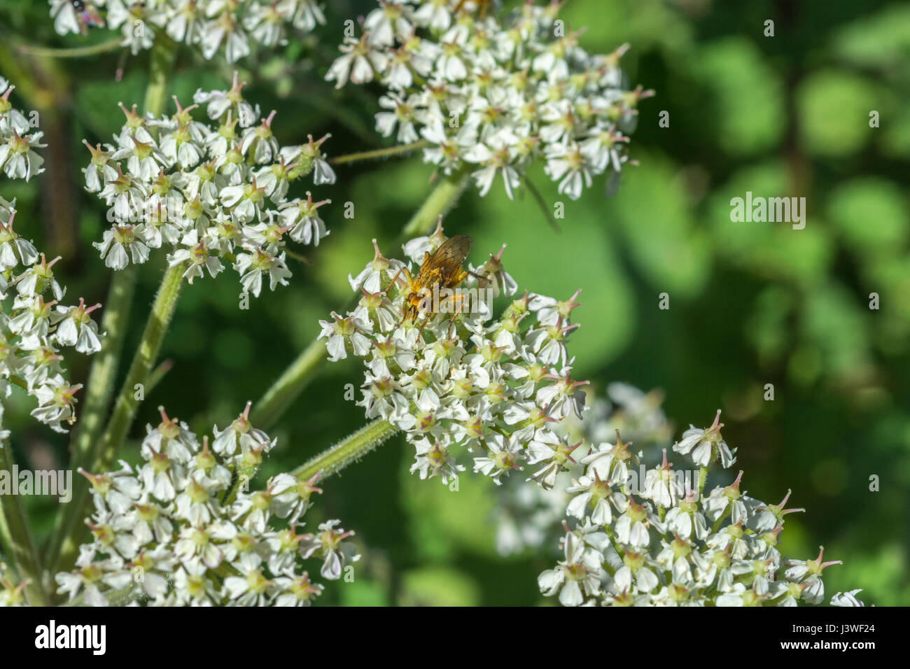 Hogweed / Cow Parsnip flower cluster with Yellow Dung Fly (Scathophaga sterconia) feeding on nectar. - Stock Image