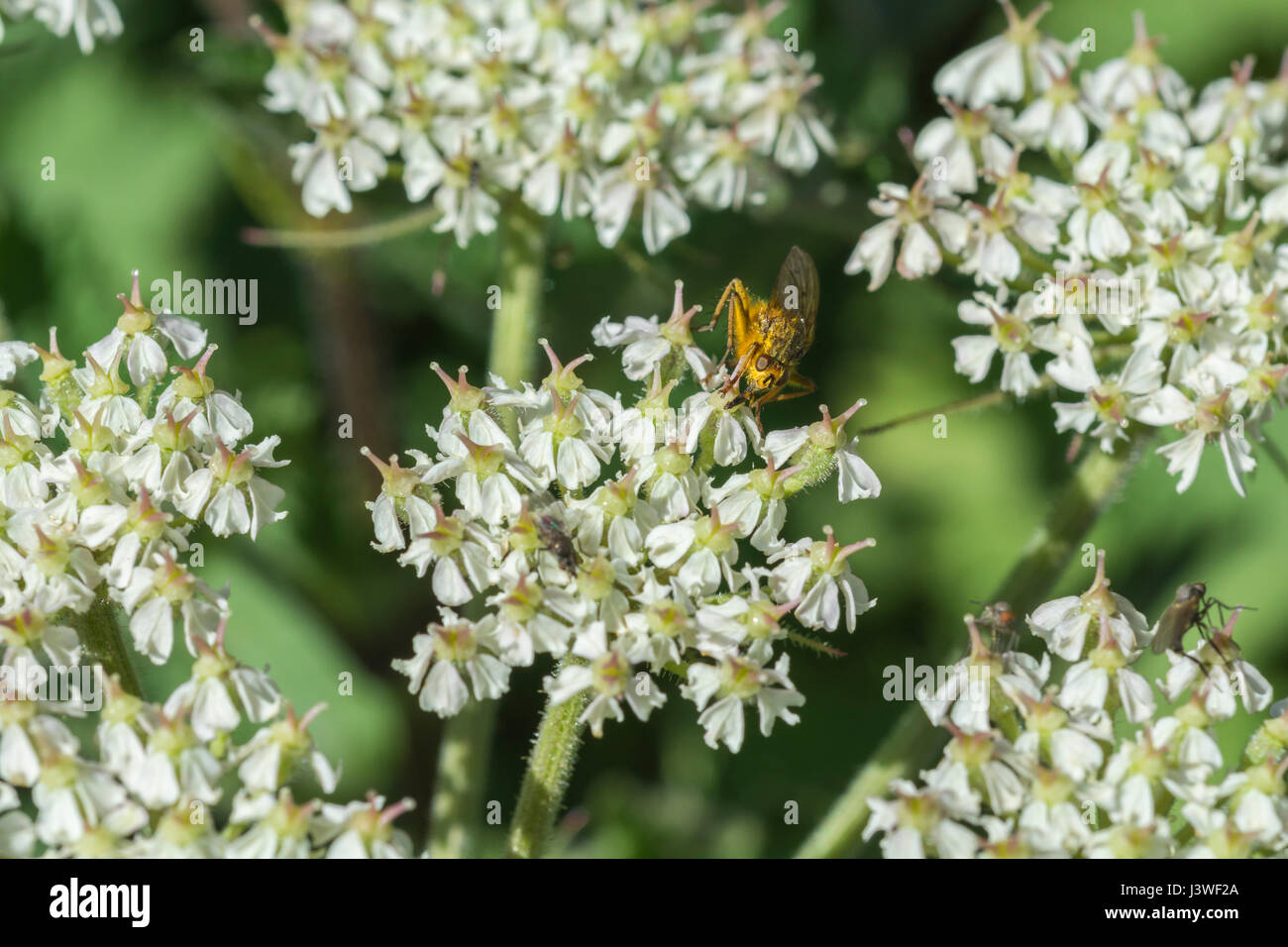 Hogweed flower cluster with Yellow Dung Fly (Scathophaga sterconia) feeding on nectar. - Stock Image