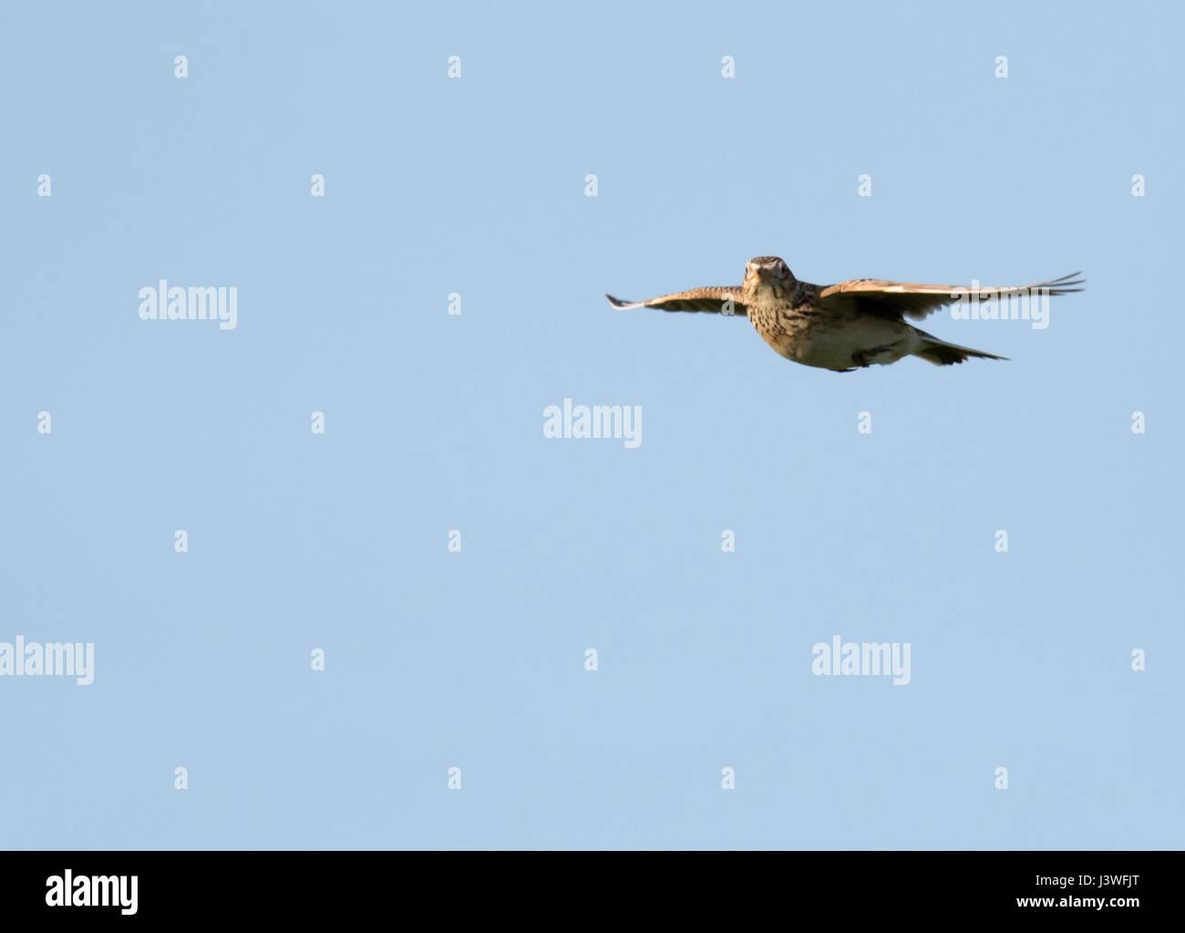 A Skylark (Alauda arvensis) hovers in the evening sunshine, Pembrokeshire - Stock Image