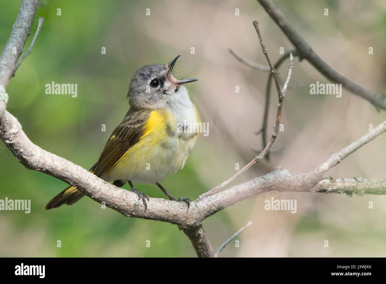 American Redstart singing her heart out at Magee Marsh - Stock Image