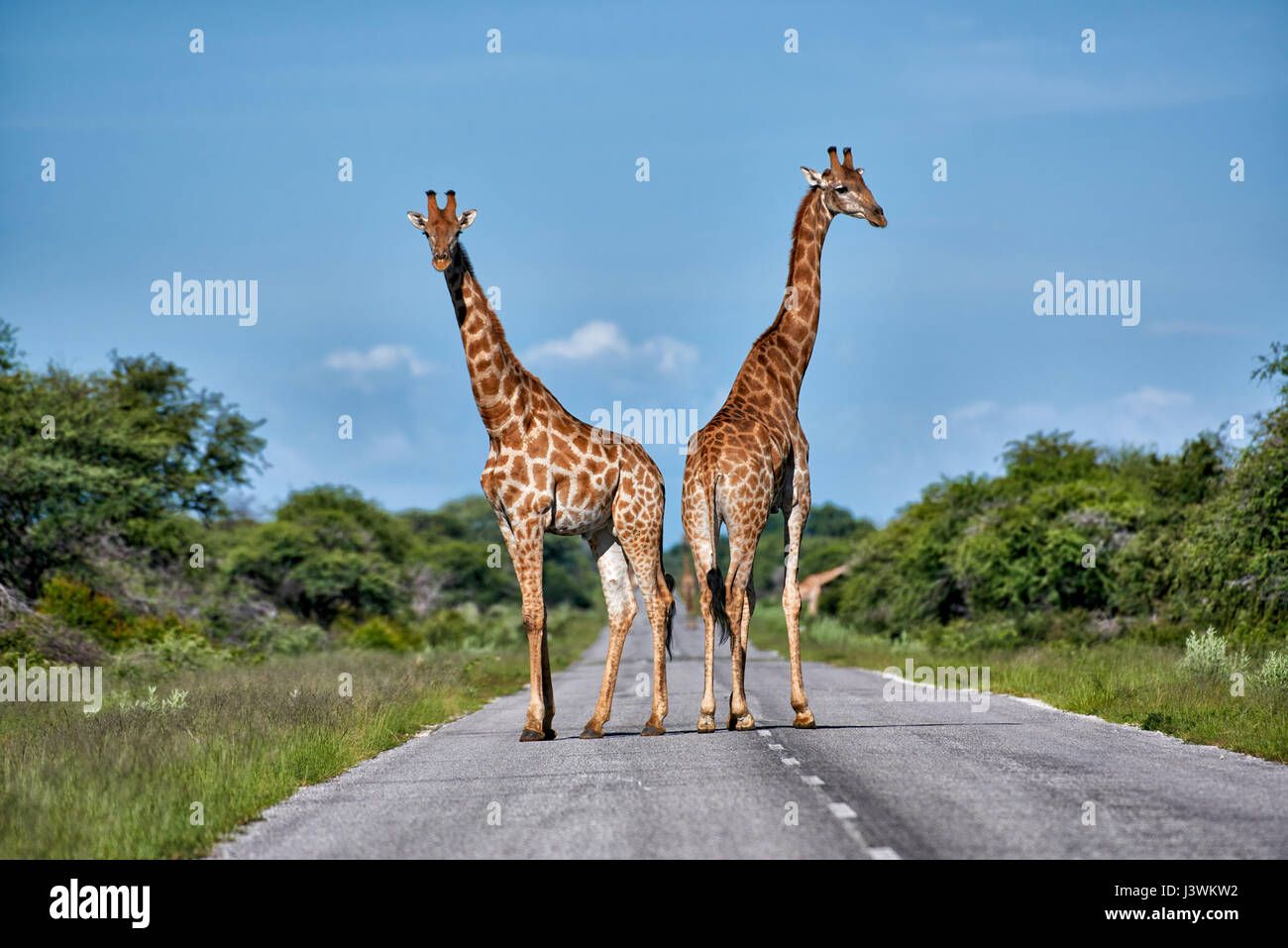 giraffes on road in Etosha National Park - Stock Image