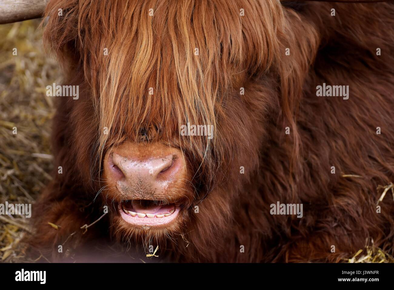 Brown cow - Stock Image