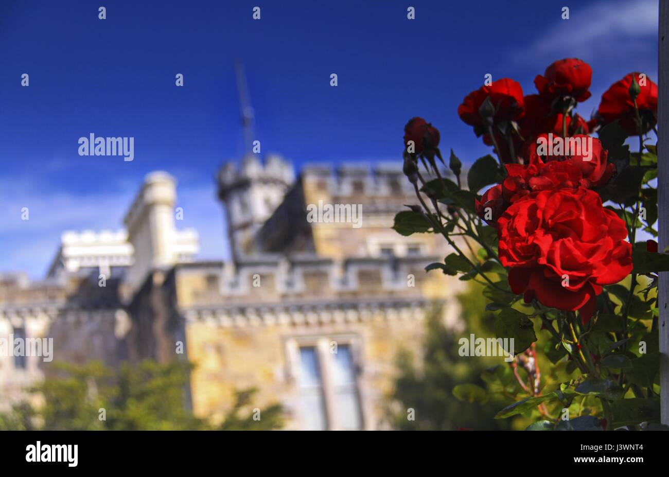 Red Roses in front of Larnach Castle on Otago Peninsula near Dunedin New Zealand - Stock Image