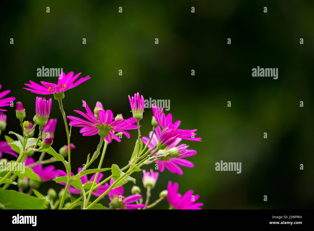 Magenta flowers with a blurred background - Stock Image