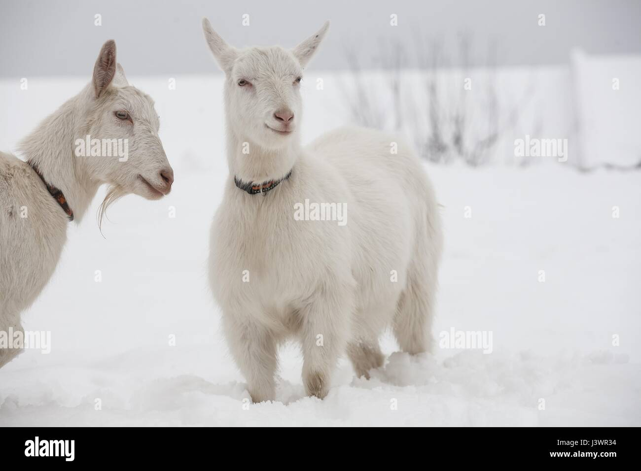 White goats in winter - Stock Image