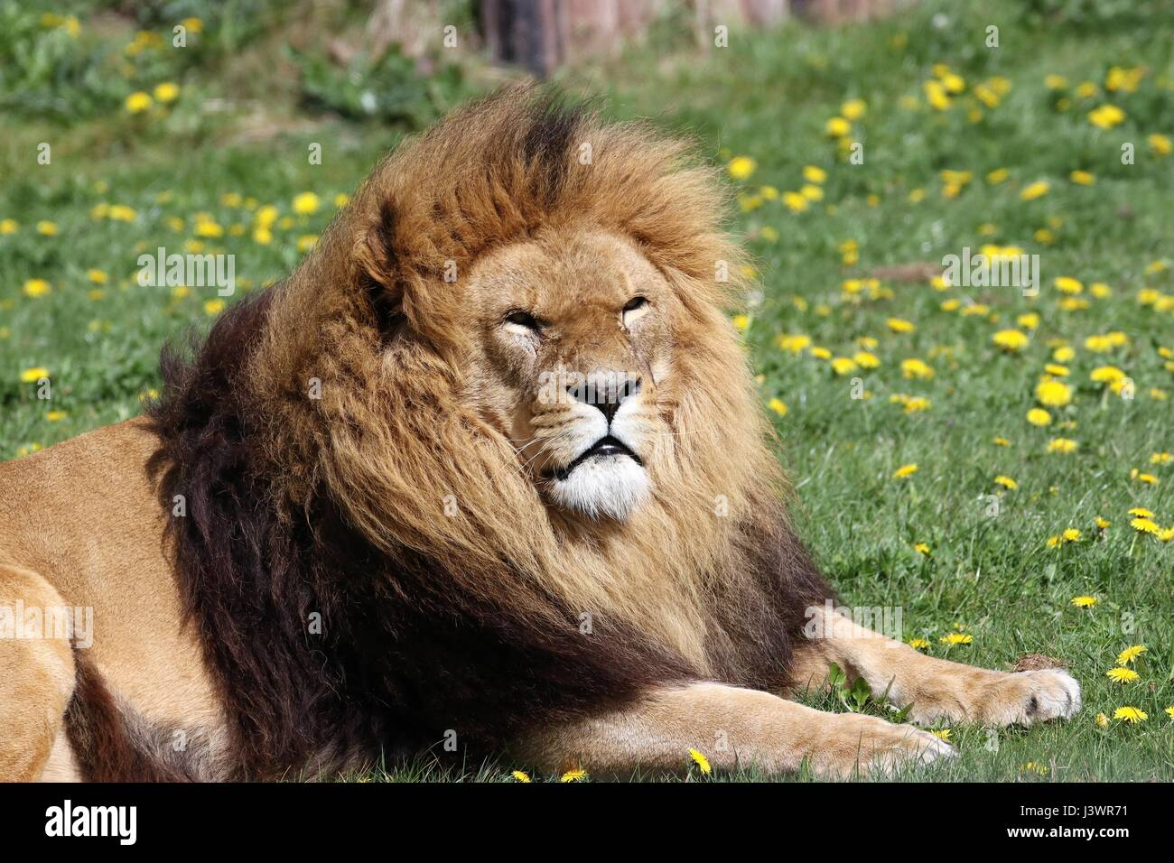 A male lion laying down next to some grass - Stock Image