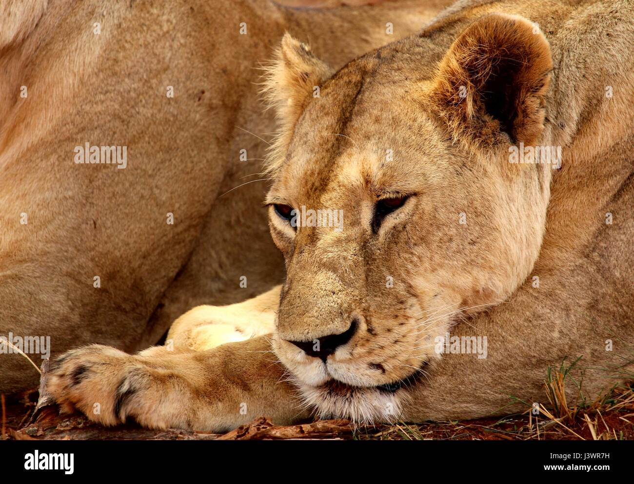Female lion laying down falling asleep - Stock Image