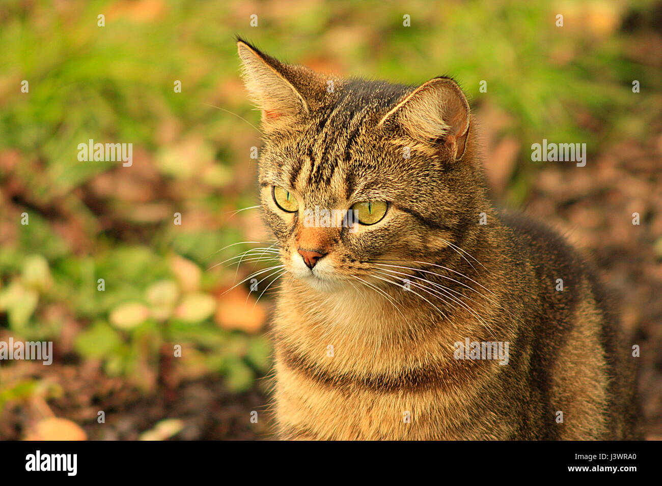 Close up of an isolated young tabby cat outside with blurred out background - Stock Image
