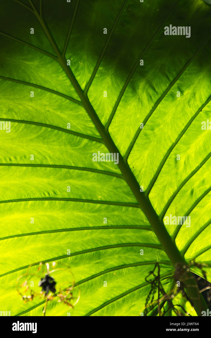 exotic leaf in bright, transparent green - Stock Image