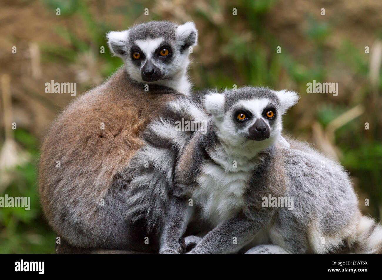 ring-tailed lemur (Lemur catta) at zoo, originally from Madagascar - Stock Image
