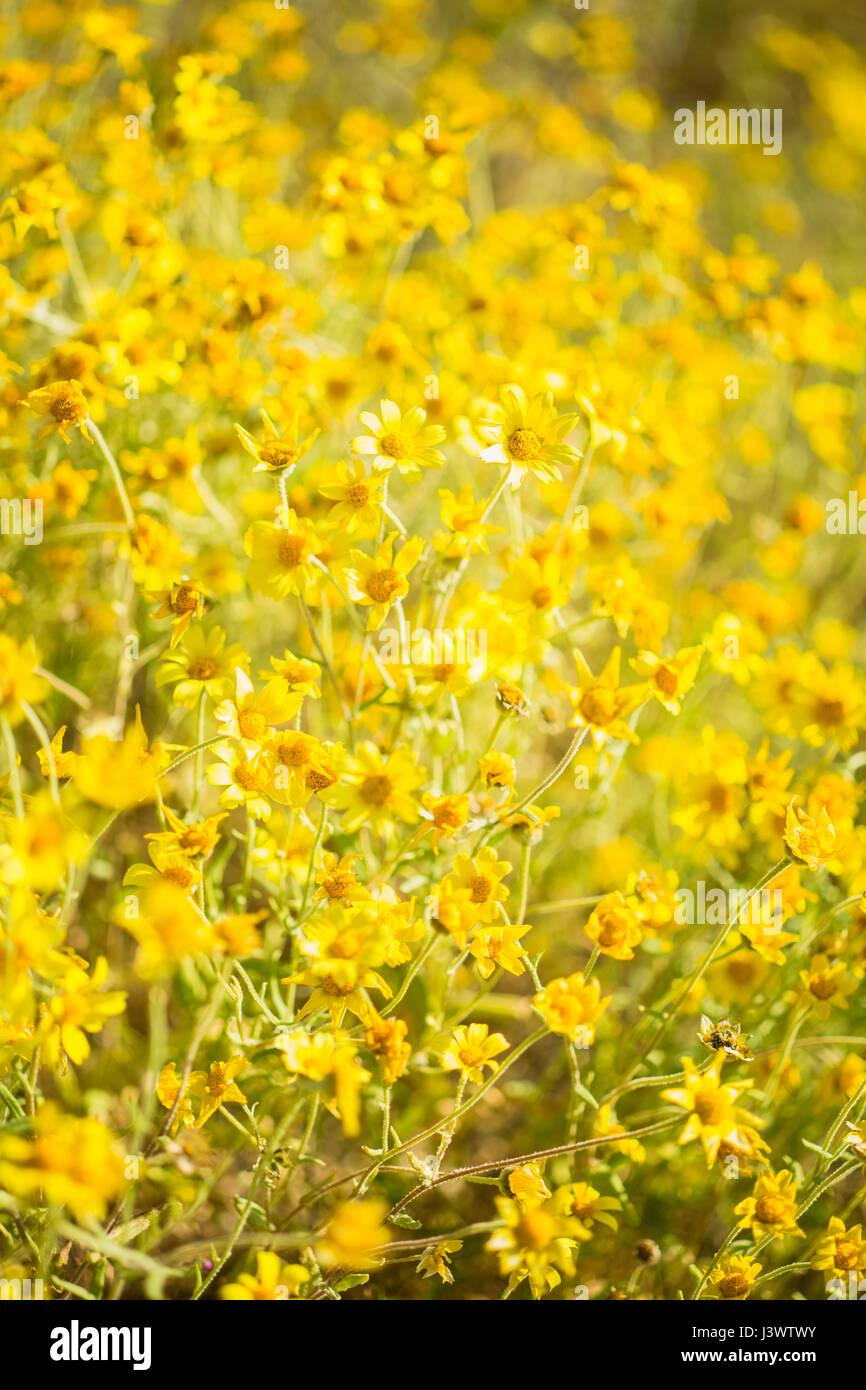 hillside daisies carpet the Temblor Range, Carrizo Plains National Monument, California - Stock Image