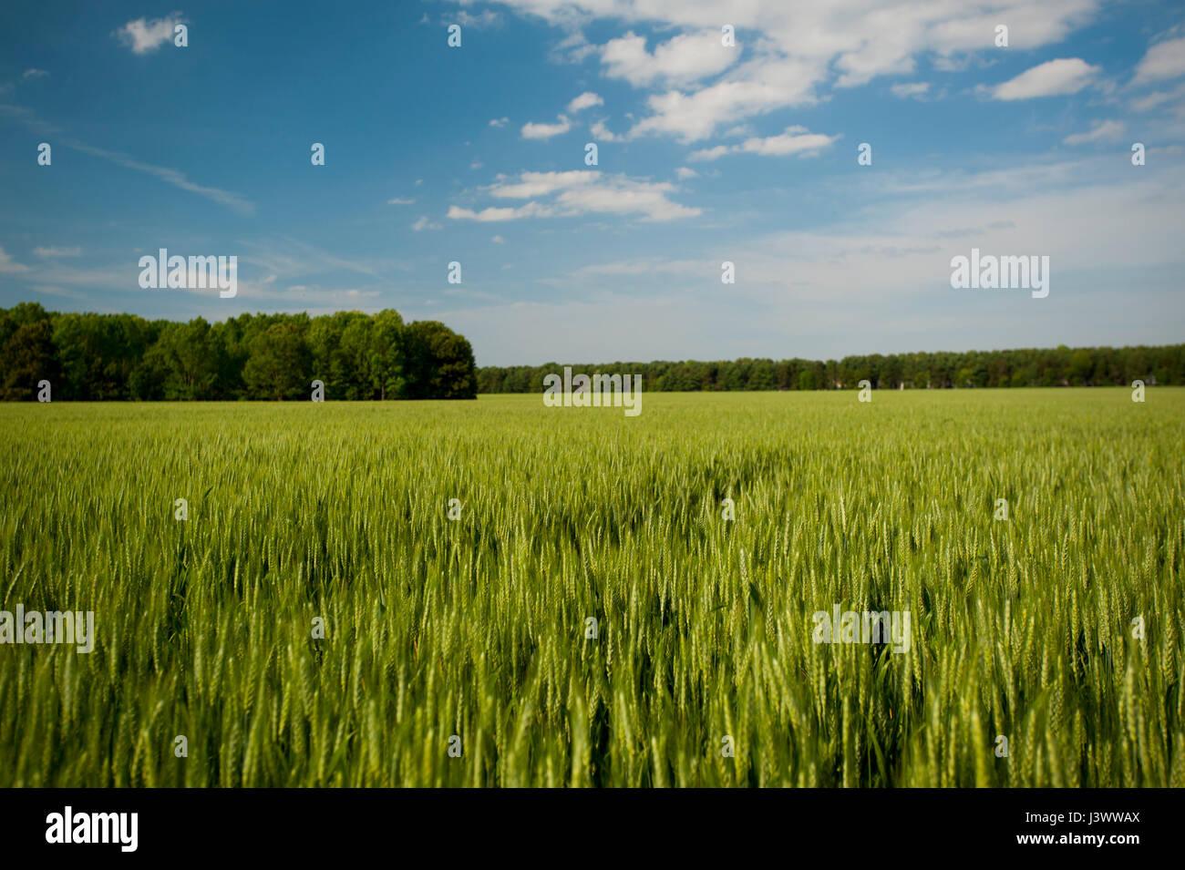 USA Virginia VA Wheat field near Jamestown - Stock Image