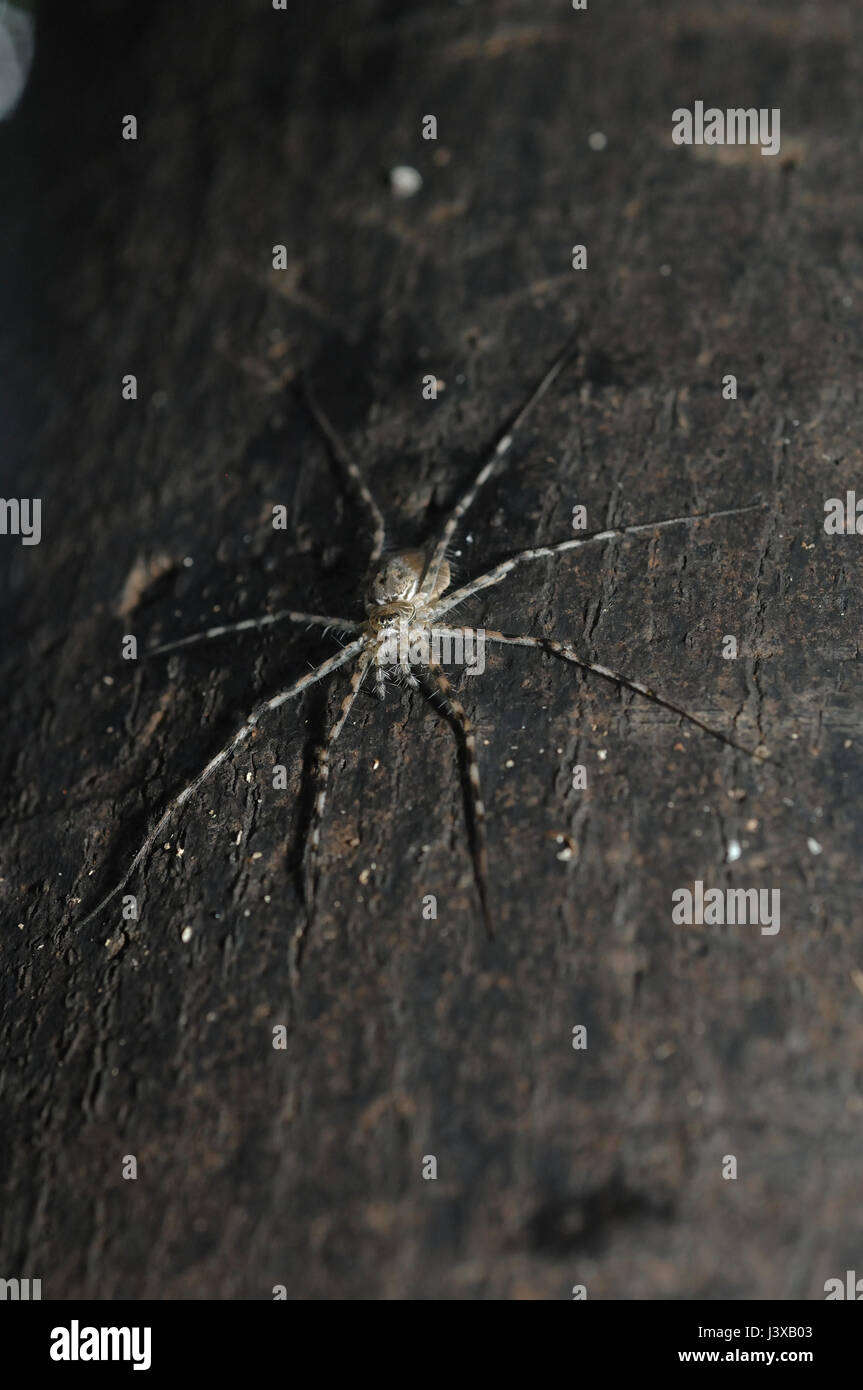 Unidentified amazonian spider, poosibly a longlegged water sider (Trechaleidae), on tree trunk - Stock Image
