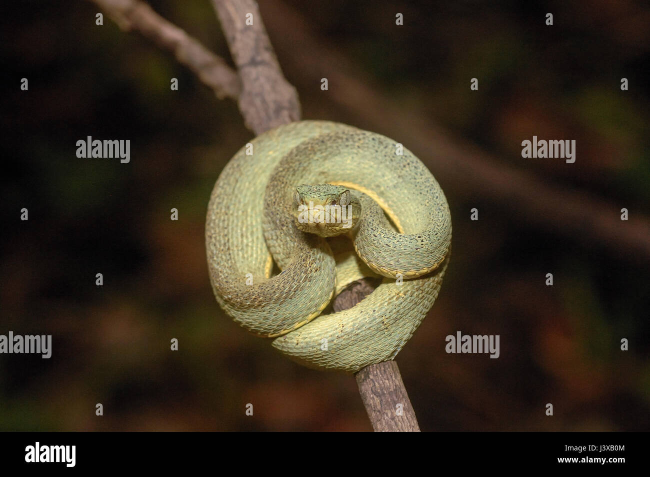 Amazonian palm viper (Bothriopsis bilineata) at rest on a branch during the day - Stock Image