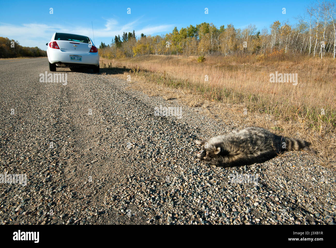 Raccoon (Procyon lotor) killed on the road, Manitoba, Canada - Stock Image